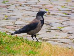 Nebelkrhe - fog crow (Sophia-Fatima) Tags: nebelkrhe naturemasterclass fogcrow
