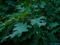 Northern Red Oak (Dendroica cerulea) Tags: summer tree leaves leaf newjersey oak quercus nj highlandpark redoak fagaceae middlesexcounty northernredoak quercusrubra fagales highlandparkmeadows