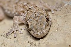 Gecko (Rinaldo R) Tags: portrait macro closeup garden reptile stack handheld gecko canonmpe geko tarentola mpe rettile tarentolamauritanica gecocomune geconidi tarantolamuraiola 80shots