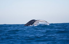 Humpback Whale tail, off Manly, Sydney (IAGD+P) Tags: dolphin manly sydney whale northernbeaches