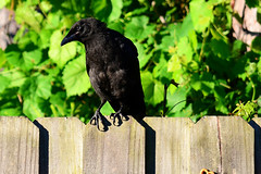 Still studying on it... --- #2 in a series (Zoom Lens) Tags: bird birds intelligence sacred mystical crow spiritual crows corvid avian intelligent corvids johnrussellakazoomlens copyrightbyjohnrussellallrightsreserved crowlife