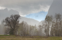 Sudden April Snowstorm, Yosemite Valley, #12 (andertho) Tags: california park trees snow storm clouds squall nps ducks national yosemite uncool d800 cool2 cool5 cool3 cool6 cool4 cool1 cool7 uncool2 uncool8 uncool3 uncool4 uncool5 uncool6 uncool7