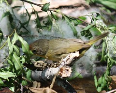 Common Yellowthroat, Geothlypis trichas (tripp.davenport) Tags: birds tx portaransas commonyellowthroat geothlypistrichas paradisepond nuecescounty