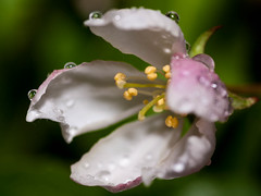 365.127 - Raindrops (Tim Stubbs) Tags: flowers macro water rain droplets blossom flash olympus sparkle 365 e30 day127 fl50 365127 sigma105mmf28exdgmacrofourthirds 08may13 3652013 week19theme