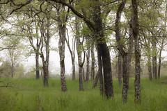 Quercus garryana (Rachel Leah Sampson) Tags: grove meadow ecosystem garryoak quercusgarryana ftsteilacoompark