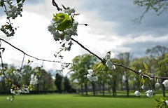 Sunshine on a rainy day (Lesley-Anne Murray) Tags: life park light tree green landscape nikon edinburgh branch blossom bokeh beautifullight breeze d90 lesleyannemurray