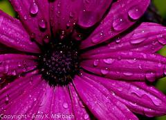 Purple Flower (AmyKay1974) Tags: flower wet purple waterdrops waterlogged mayflowers