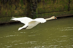 Coming into the harbour (Paul-nature) Tags: sea bird nature flying swan flight muteswan