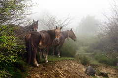 horses in foggy and rainy day (Mimadeo) Tags: morning trees horse mist nature wet field grass rain animal fog landscape countryside haze mood looking outdoor foggy rainy staring equine