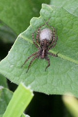 Spider wolf female with eggs Woodbridge 22.5.2013 (1) (Margaret the Novice) Tags: spiders
