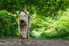 26th May - Zippy (Bond Girly) Tags: trees dog pet grass sunshine spring path walk terrier greenery zippy common lakeland