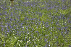 Bluebell mix (The^Bob) Tags: plant flower fern woodland scotland bracken bluebell dumfriesgalloway