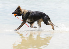 Kastle Swims 2013-06-07-2 (falon_167) Tags: dog shepherd german gsd germanshepherddog kastle