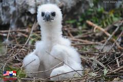 """El águila harpía """"Panamá"""" nació el 22 de septiembre de 2009 en el zoológico de Miami, Estados Unidos. (U.S. Embassy Panama) Tags: usa zoo miami summit panama estadosunidos aguila harpia"""