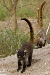 2013_050 (kgorka) Tags: animal fauna canon mexico nayarit nuevovallarta vallarta kata tamron coati tejon pizote 18270 eos7d gorkabarreras
