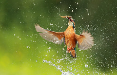 Kingfisher Emerging with a Fish (Daniel Trim) Tags: fish fishing with feeding hunting kingfisher emerging eurasian commonkingfisher alcedo atthis