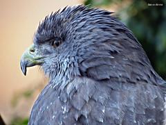 Raptor (WhyCallSarah) Tags: bird canon germany birding sx40
