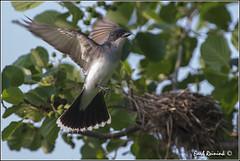 "Eastern Kingbird (130709-0609) (Earl Reinink) Tags: bird nature birds photography earl kingbird ""bird photography"" ""nature ""earl flight"" kingbird"" ""nesting reinink"""