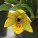 Promenaea Colmaniana – Merle Robboy