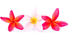 Pink and red plumeria flower arrangement (bestcommunity) Tags: pink summer bali white plant flower nature floral beautiful beauty rock stone closeup garden relax asian hawaii peace perfume pacific symbol blossom plumeria background grunge gray lifestyle ground fresh petal pebble exotic malaysia fragrant tropical frangipani medicine therapy spa tranquil wellness treatment aromatherapy