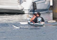 Sockeye Photobomb (Ingrid Taylar) Tags: seattle summer lumix washington jumping kayak lock small salmon july olympus pacificnorthwest pugetsound ballard omd sockeye ballardlocks 100300mm 2013 em5 hirammchittendenlocks photobomb