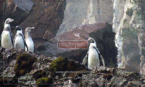 Pinguinos, Callao