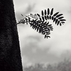 Side Growth (JeffStewartPhotos) Tags: blackandwhite bw toronto ontario canada tree blackwhite branch growth photowalk toned centreisland littlebranch torontophotowalk topw torontophotowalks 100thwalk 100thwalkcentreisland topw100w