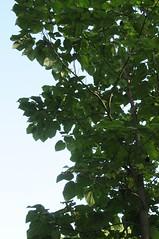 Blauglockenbaum (Paulownia tomentosa); Schlossgarten, Bad Pyrmont 3 (Chironius) Tags: trees tree germany deutschland rboles boom arbres rbol alemania acanthaceae albero bume allemagne arbre rvore baum trd germania weserbergland aa niedersachsen   badpyrmont  lamiales asterids  akanthusgewchse  lippenbltlerartige lamiids