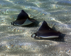 Teenage Cruisers (ronboring) Tags: nature florida stingray mantaray