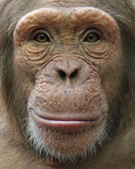 Chimpanzee (Buggers1962) Tags: portrait nature face animal closeup canon mammal zoo monkey eyes close chimp wildlife ape chimpanzee primate colchester colchesterzoo greatphotographers itsazoooutthere canon7d highqualityanimals