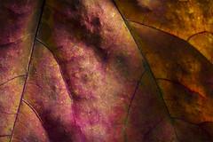 Les couleurs de l'automne - 24 (Spock2029) Tags: autumn color fall leave automne leaf maple couleur rable vegetal feuille vgtal