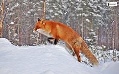 Animal fox 338611
