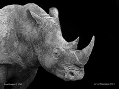 Rhino Combo (Arno Meintjes Wildlife) Tags: wallpaper art rhino rhinoceros combo arnomeintjes
