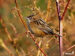 Cisticola Juncidis (Zemarks) Tags: birds birding birdsinportugal avesemportugal aves birdwatching avifauna cisticolajuncidis funhadosjuncos