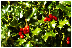 Photo Challenge - bold colours. Prickles. (Maw*Maw) Tags: christmas xmas red photoshop berry berries overlay noel holly crop yuletide