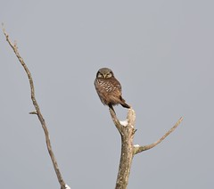 Northern Hawk-Owl (tapaculo99) Tags: birds vermont aves owl hawkowl northernhawkowl surniaulula
