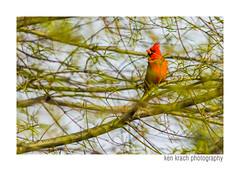 Paint Me A Cardinal (Ken Krach Photography) Tags: cardinal baltimore