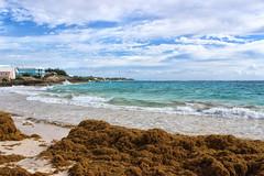 Seaweed anyone? #2 (larigan.) Tags: phamilton larigan bermuda johnsmithsbay seaweed beach