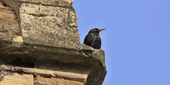 Barton upon Humber, st Mary's Church (SteveH1972) Tags: bird lincolnshire stmaryschurch northlincolnshire bartonuponhumber canon600d