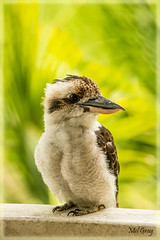 Friendly-visitor_DSC1671 (Mel Gray) Tags: nature birds urbannature kookaburra australianbirds
