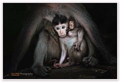 Mother's Care (Vin PSK) Tags: bali nature monkey wildlife mothers care ubud monkeyforest