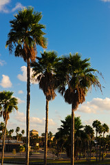 Brownsville Palm Trees