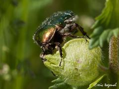 Ctoine_IMG_1408 (eric.togonal) Tags: france macro nature insectes eos5dmarkii togonal