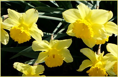 NARCISI (aldofurlanetto) Tags: narcisi