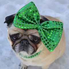 The St. Patrick's Day Diva (DaPuglet) Tags: pug pugs stpatricks stpatrick stpaddys costume alittlebeauty coth dog dogs animal animals pet pets irish green paddy patrick bow march holiday coth5