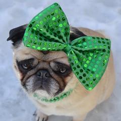 The St. Patrick's Day Diva (DaPuglet) Tags: pug pugs stpatricks stpatrick stpaddys costume alittlebeauty coth dog dogs animal animals pet pets irish green paddy patrick bow march holiday coth5