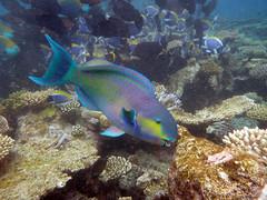Maldives (wesbran) Tags: sea fish water swimming island underwater snorkeling reef maldives conrad rangali