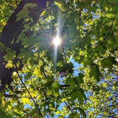 Sun-kissed Maple (Lorinda Christene) Tags: sun sunlight tree nature landscape maple foliage lensflare mapletree mapleleaves lightrays sunflare lightflare iphoneography