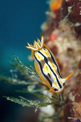 Chromodoris cf. strigata 2 (Luko GR) Tags: macro underwater critter philippines diving nudibranch anilao batangas mollusca luzon seaslug chromodoriscfstrigata