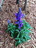 """Salvia Victoria Blue • <a style=""""font-size:0.8em;"""" href=""""http://www.flickr.com/photos/101656099@N05/14130851721/"""" target=""""_blank"""">View on Flickr</a>"""
